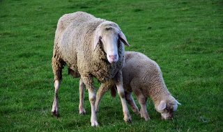 Provérbio do dia – Pedro Dong – Você conhece o estado das ovelhas que cuida? – 17/11/2017